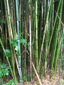 Invasive Plant Control Bamboo