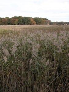 Invasive Plant Control Phragmites